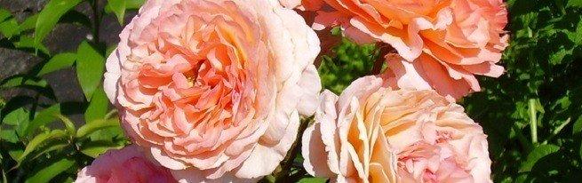 Разновидности роз современные и старинные – какие выбрать для оформления участка?