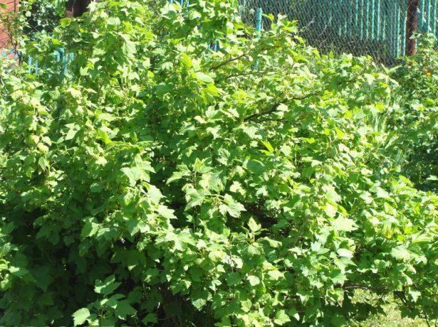 Разросшийся куст чёрной смородины