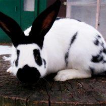 Кролик «Строкач»