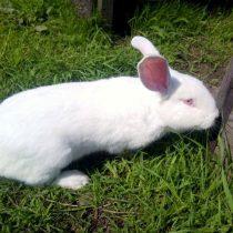 Кролик «Белый великан»