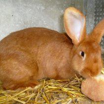 Кролик «Бургундский»