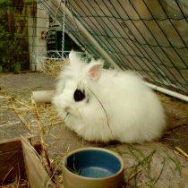 Кролик «Ангорский карликовый»