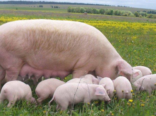 На снимке свинья с поросятами