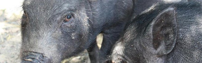 Разведение свиней: выбор породы, случка, супоросность и опорос
