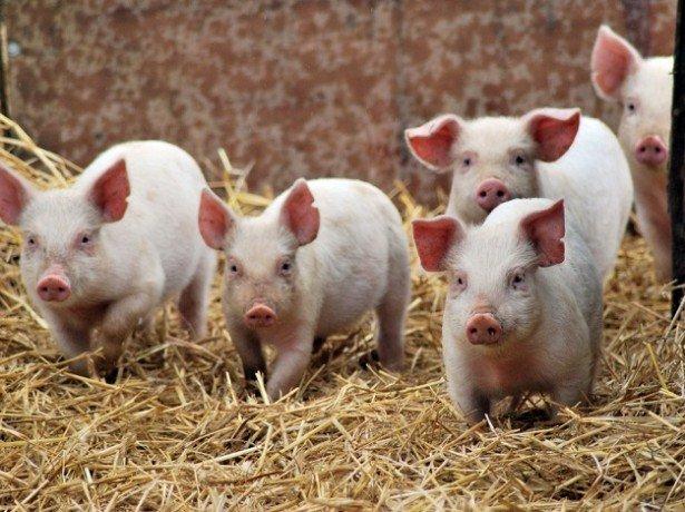 Фотография свиней