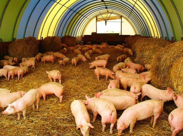 Фото разведения свиней