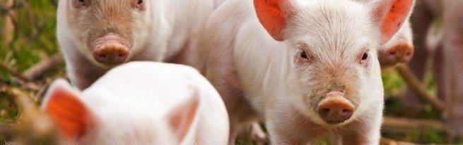 Разведение свиней как бизнес – что нужно учесть, чтобы добиться высокой рентабельности?