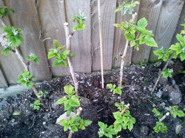 Ремонтантная малина — выращивание и уход по всем правилам