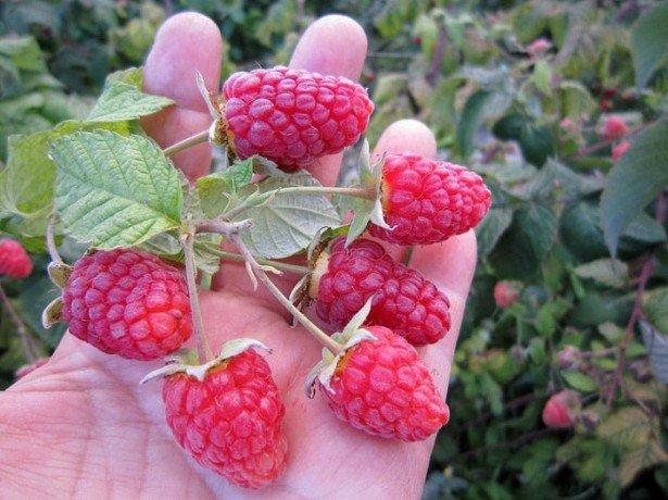 Как выращивать ремонтантную малину и что для этого нужно знать?