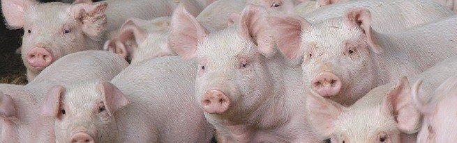 Содержание свиней – о чем нужно знать, чтобы добиться успеха в свиноводстве?
