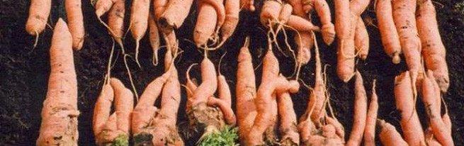 Рогатая, мохнатая, корявая морковь – почему морковка вырастает уродливой