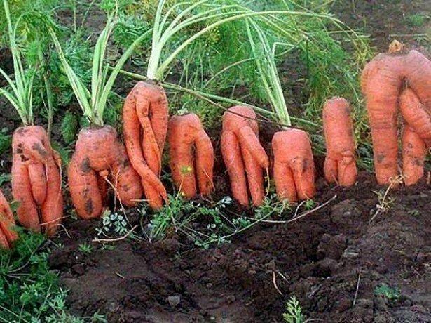 На фото корявая морковь