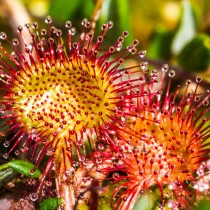 Круглолистная росянка (Drosera rotundifolia)