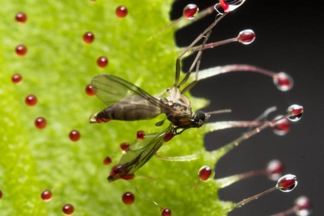 Росянка способна удержать муху на протяжении получаса без сворачивания листьев