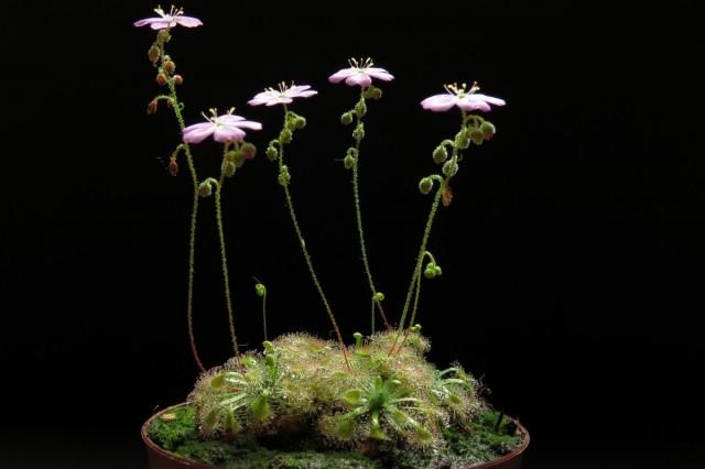 Обычно росянки цветут весной