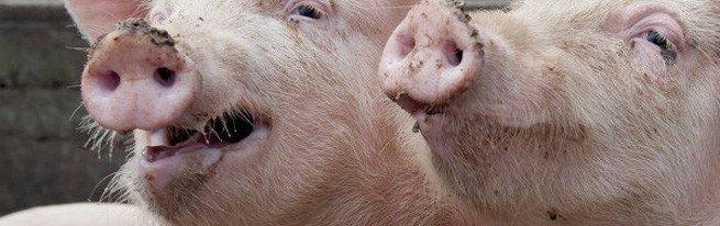Рожа, аскаридоз, сальмонеллез, саркоптоз и другие распространенные болезни свиней