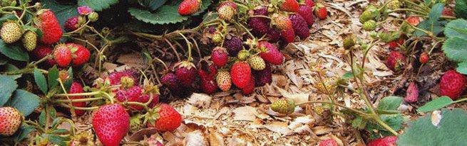 Садовая земляника из семян: высевание, выращивание и пересадка в открытый грунт