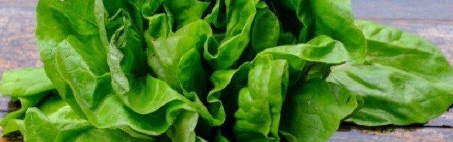 Салат латук – полезные свойства и вред зелени