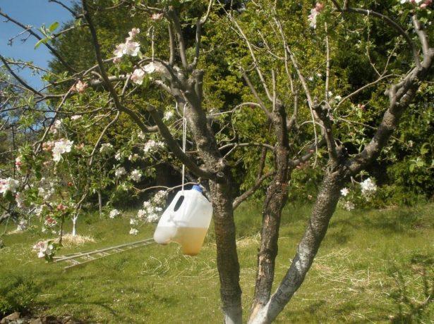 Самодельная ловушка для бабочки плодожорки