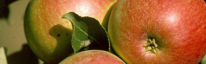 Самые известные сорта яблок – какие стоит посадить на своем участке?