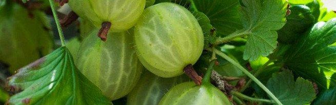 Лучшие сорта крыжовника для выращивания - крупноплодные, зимостойкие, бесшипные