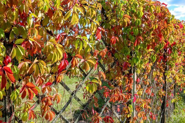 Девичий виноград пятилисточковый (Parthenocissus quinquefolia)