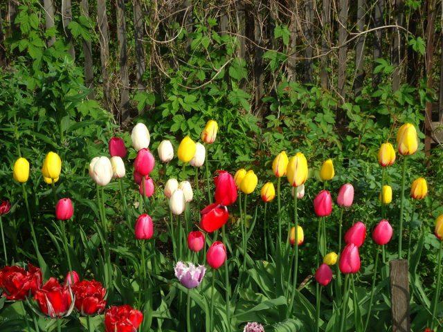 Со временем я пришла к тому, что тюльпаны не обязательно ежегодно выкапывать