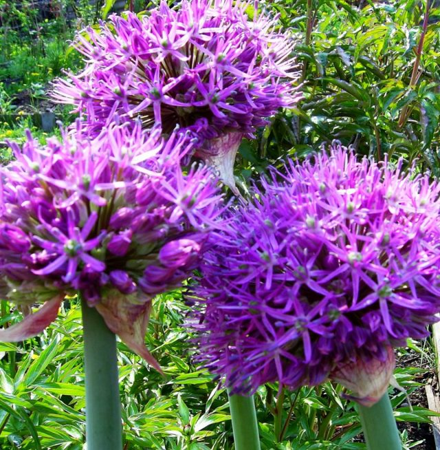 Гигантский лук (Allium giganteum) красив и монументален в цветении