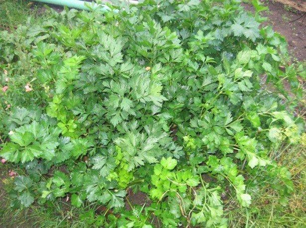 На фотографии сельдерей листовой