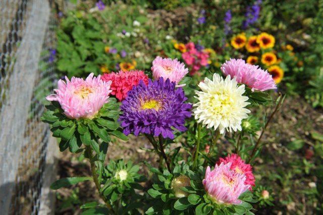 Наиболее знамениты своей чувствительностью к посеву и высадке рассады на одном и том же месте садовые астры