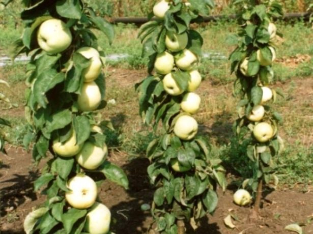 Схема посадки колонновидных яблонь