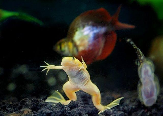 Шпорцевым лягушкам требуется крупный грунт в аквариуме, чтобы они не смогли его проглотить