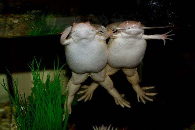 Растолстевшая шпорцевая лягушка — это не только не эстетично, но и вредно для самого питомца