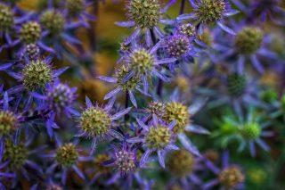 Синеголовник плосколистный (Eryngium planum) 'Blue Hobbit'