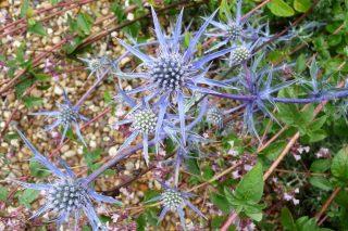 Синеголовник плосколистный (Eryngium planum) 'Blaukappe'