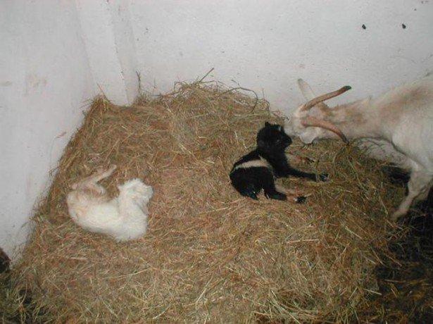 На фото роды козы
