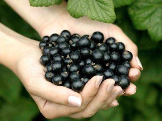 Урожай смородины Пигмей
