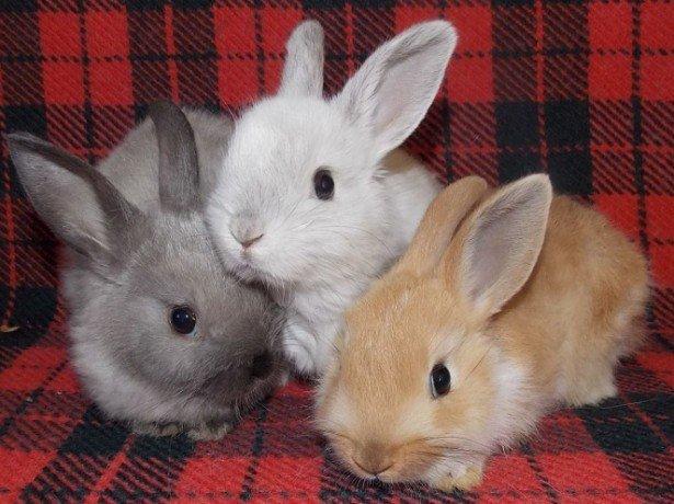Фото декоративных кроликов