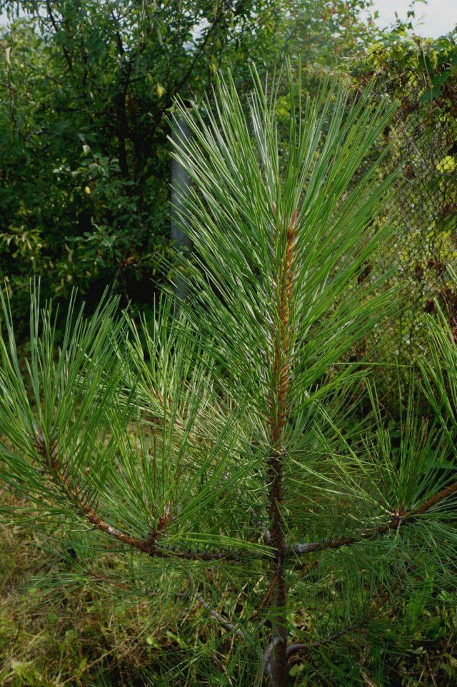 Молодой саженец сосны желтой, или Сосны Пондероза (Pinus ponderosa) в нашем саду