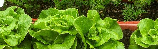 Создаем огород на балконе или на окне: что выращивать и как?