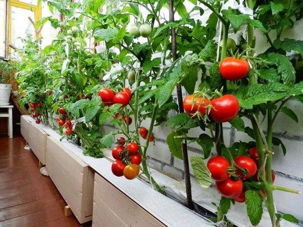 Фото выращивания огурцов на балконе
