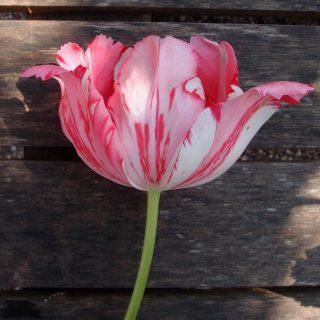 Тюльпан 'Fantasy', пораженный вирусом мозаики тюльпана (Tulipa virus)