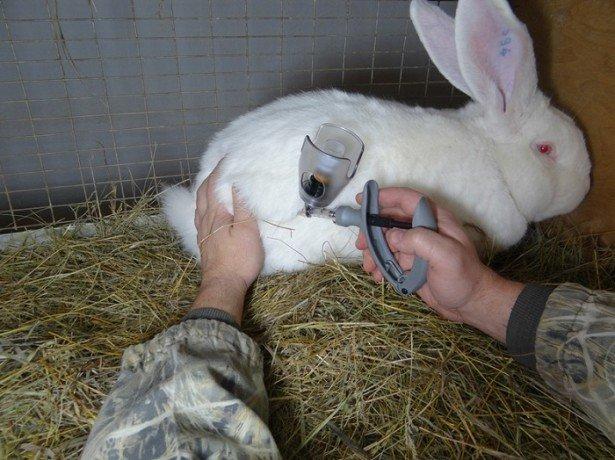 Фото вакцинации кролика
