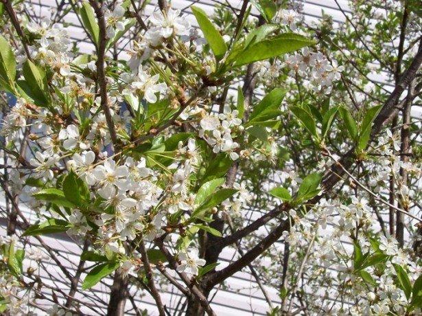 На фотографии цветение вишни