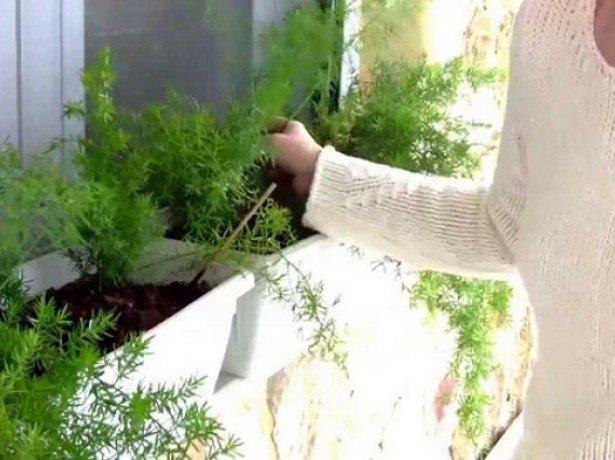 Фотография выращивания укропа