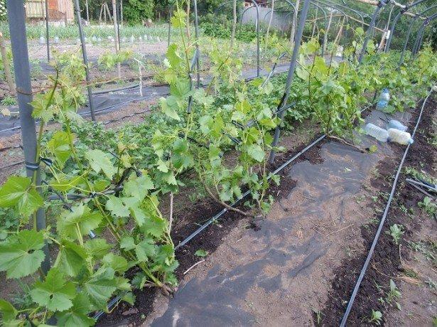 Как ухаживать за виноградом в первый сезон после посадки? фото