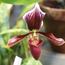 Пафиопедилум Гарриса (Paphiopedilum harrisianum)