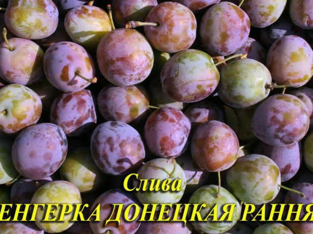 Венгерка Донецкая ранняя