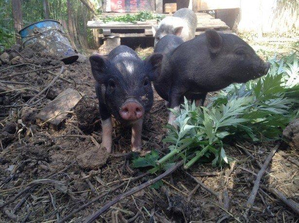 На фотографии вьетнамские свинки