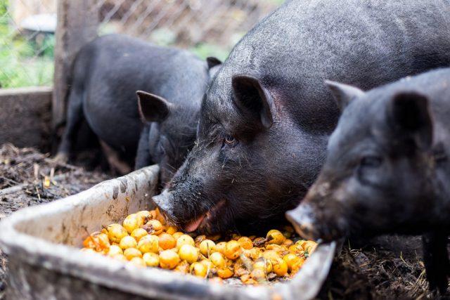 Выгоднее всего кормить свиней тем, что лучше всего растет в вашем регионе